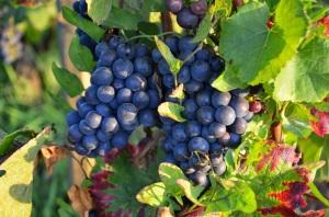 Pinot noir from Volnay Clos des Chenes Premier Cru Vineyard