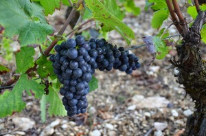 Pinot noir Volnay Taille Pieds Premier Cru Vineyard