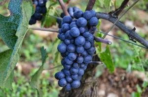 Pinot noir cluster in Vosne-Romanee