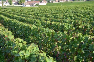 Working in another fine Vosne-Romanee vineyard