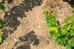 Granitic soils of Beaujolais