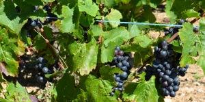 Gamay grapes, Fleurie, Beaujolais